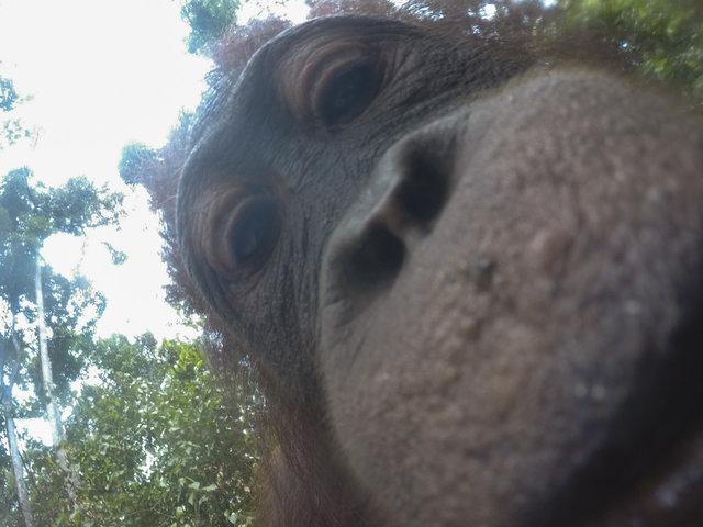 Дикий орангутанг умыкнул камеру у фотографа и сделал суперские селфи! Смотрите сами! :) рис 4