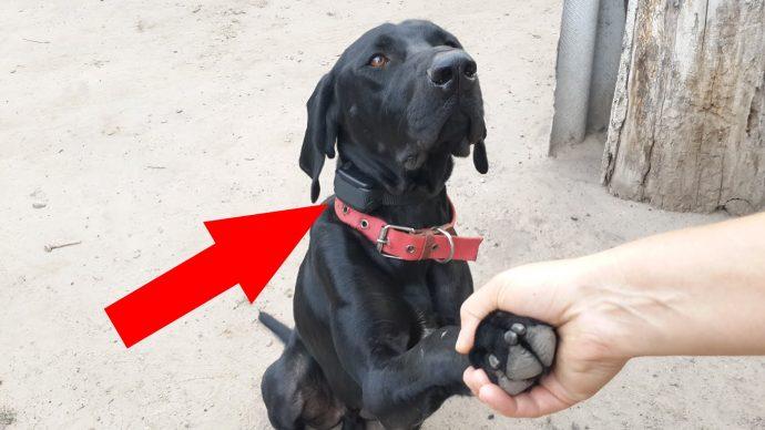 """Электрошоковый ошейник – ПЫТКА для вашей собаки! Вся правда о том, как работает это """"украшение"""" рис 2"""