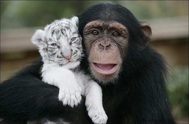 """""""Мама, мы на тебя не похожи, но очень любим""""! Как шимпанзе белых тигрят воспитывала :) рис 10"""