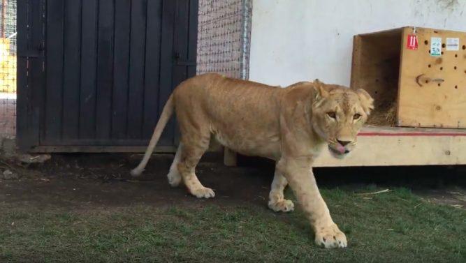 02-kiara-lioness-667x377