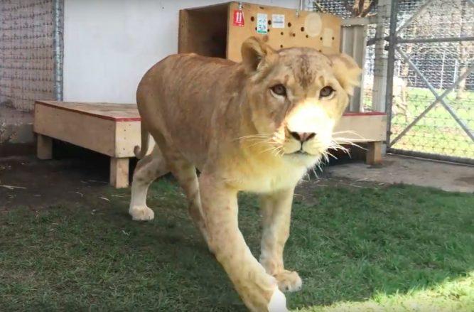03-kiara-lioness-667x439