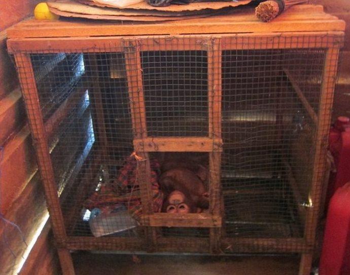 Отвратительно сладкая жизнь! Малыша орангутанга никогда ничем не кормили... кроме сгущёнки! Вот она, человеческая глупость... рис 2