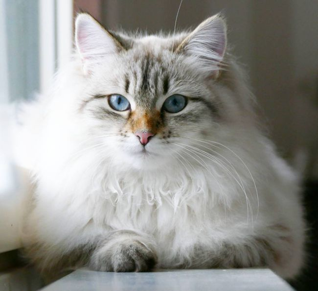 Какие породы кошек самые ЛАСКОВЫЕ? Они станут лучшими друзьями и... мурррчащей подушечкой! :)