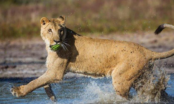 Маленькую львицу бросил прайд, но спасли люди! И вот снова ей пришло время остаться одной... рис 10