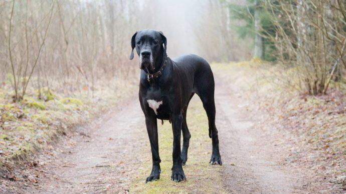 great-dane-dog