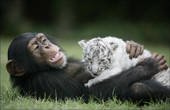 """""""Мама, мы на тебя не похожи, но очень любим""""! Как шимпанзе белых тигрят воспитывала :) рис 5"""