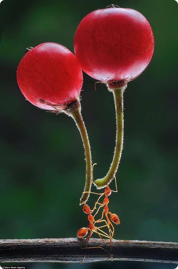 """Муравьи-силачи заткнут за пояс любого """"качка""""! Их удивительные будни показывает нам индонезийский фотограф рис 2"""