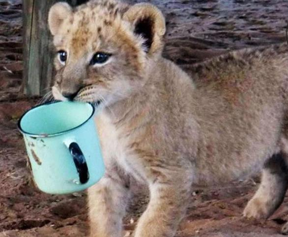 Маленькую львицу бросил прайд, но спасли люди! И вот снова ей пришло время остаться одной... рис 4