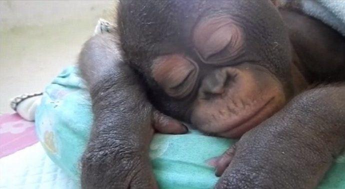 Отвратительно сладкая жизнь! Малыша орангутанга никогда ничем не кормили... кроме сгущёнки! Вот она, человеческая глупость... рис 5