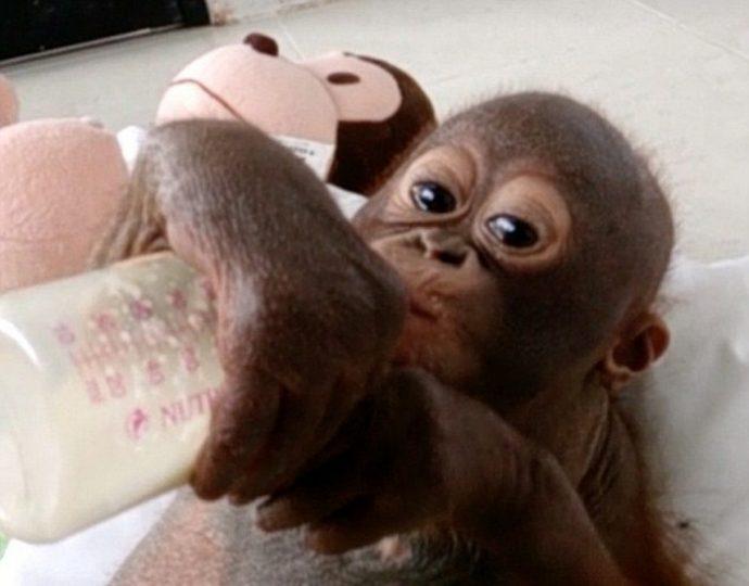 Отвратительно сладкая жизнь! Малыша орангутанга никогда ничем не кормили... кроме сгущёнки! Вот она, человеческая глупость... рис 4