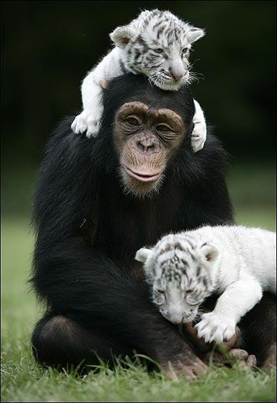 """""""Мама, мы на тебя не похожи, но очень любим""""! Как шимпанзе белых тигрят воспитывала :) рис 7"""