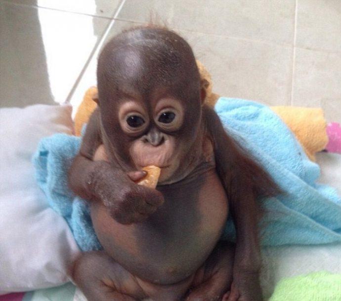 Отвратительно сладкая жизнь! Малыша орангутанга никогда ничем не кормили... кроме сгущёнки! Вот она, человеческая глупость... рис 7