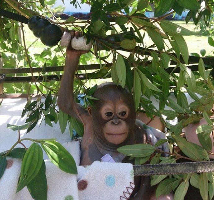 Отвратительно сладкая жизнь! Малыша орангутанга никогда ничем не кормили... кроме сгущёнки! Вот она, человеческая глупость... рис 8