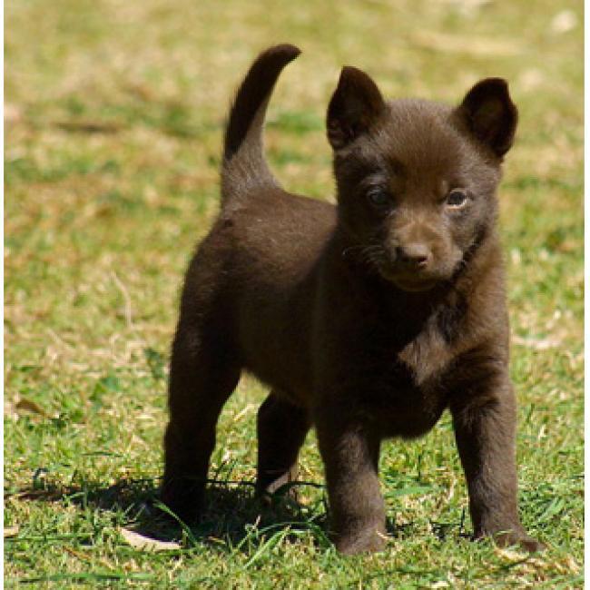Австралийский келпи (Australian Kelpie) - щенок 2