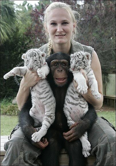 """""""Мама, мы на тебя не похожи, но очень любим""""! Как шимпанзе белых тигрят воспитывала :) рис 2"""