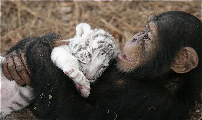 """""""Мама, мы на тебя не похожи, но очень любим""""! Как шимпанзе белых тигрят воспитывала :) рис 4"""