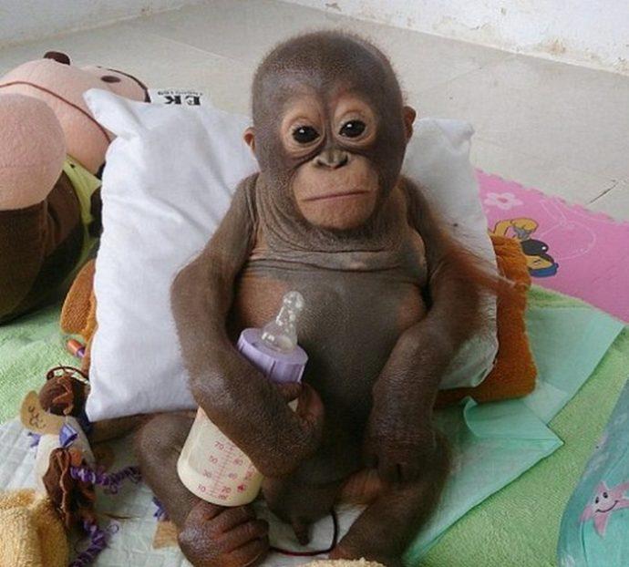 Отвратительно сладкая жизнь! Малыша орангутанга никогда ничем не кормили... кроме сгущёнки! Вот она, человеческая глупость...