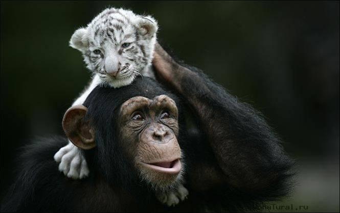 """""""Мама, мы на тебя не похожи, но очень любим""""! Как шимпанзе белых тигрят воспитывала :) рис 3"""