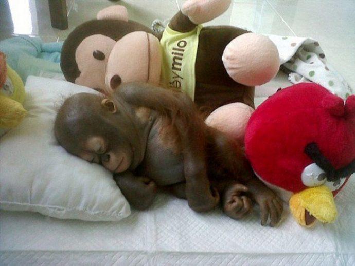 Отвратительно сладкая жизнь! Малыша орангутанга никогда ничем не кормили... кроме сгущёнки! Вот она, человеческая глупость... рис 6