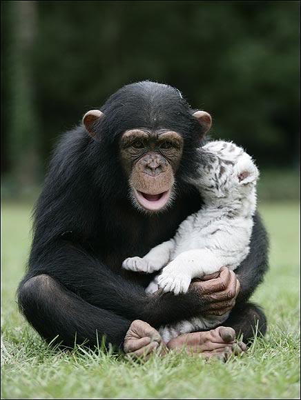 """""""Мама, мы на тебя не похожи, но очень любим""""! Как шимпанзе белых тигрят воспитывала :) рис 9"""