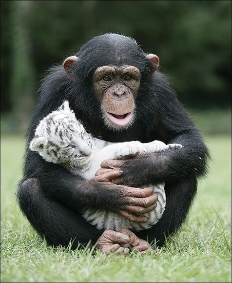 """""""Мама, мы на тебя не похожи, но очень любим""""! Как шимпанзе белых тигрят воспитывала :) рис 6"""