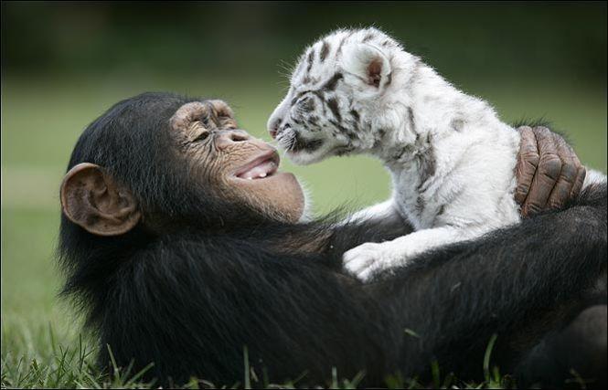 """""""Мама, мы на тебя не похожи, но очень любим""""! Как шимпанзе белых тигрят воспитывала :) рис 8"""
