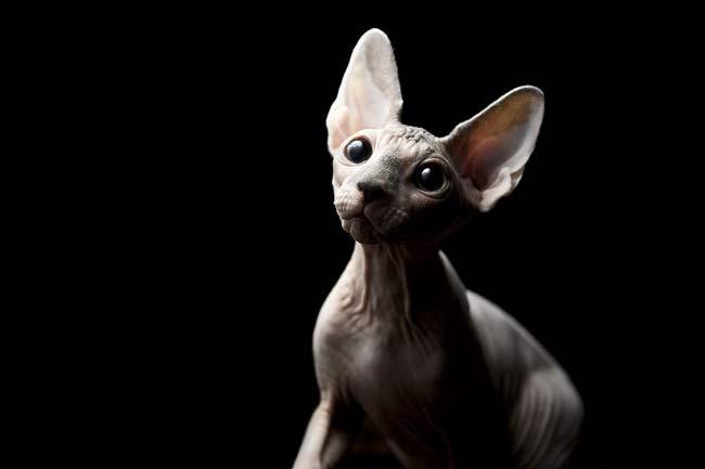 Какие породы кошек самые ЛАСКОВЫЕ? Они станут лучшими друзьями и... мурррчащей подушечкой! :) рис 9