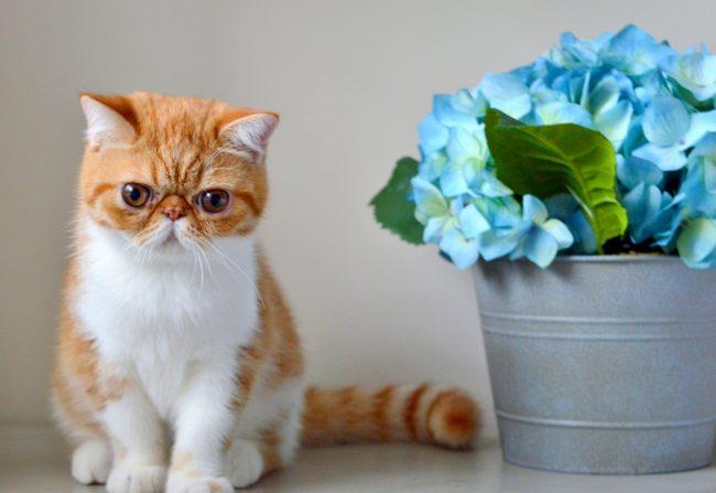 Какие породы кошек самые ЛАСКОВЫЕ? Они станут лучшими друзьями и... мурррчащей подушечкой! :) рис 10