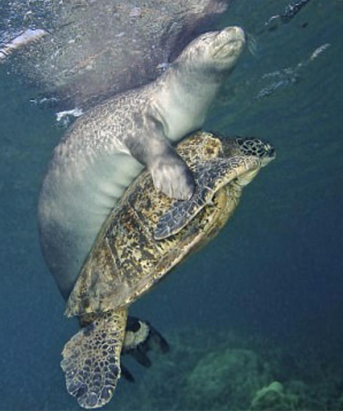 Тюлень просто проплывал мимо, когда увидел большую черепаху. И что же он начал с ней делать? В жизни не догадаетесь! :) рис 3