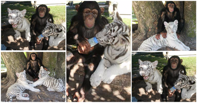 """""""Мама, мы на тебя не похожи, но очень любим""""! Как шимпанзе белых тигрят воспитывала :) рис 11"""