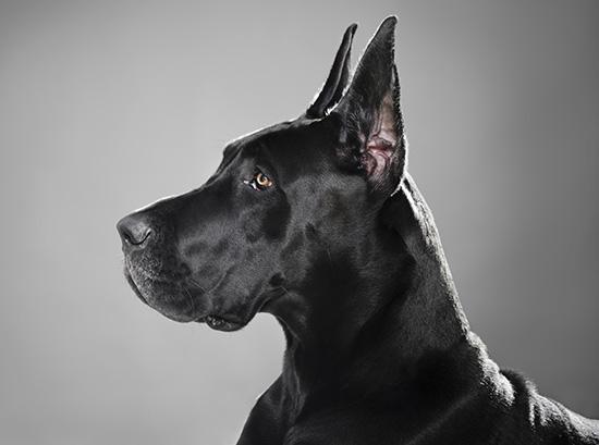 Немецкий дог (Great Dane) черный