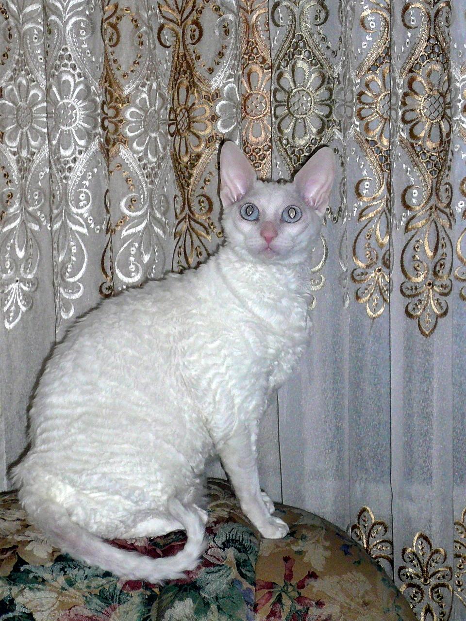 Какая кудрявая красавица! Знакомьтесь - кошка Джемма породы корниш-рекс :)