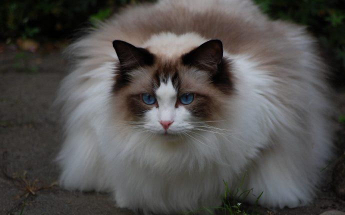 Какие породы кошек самые ЛАСКОВЫЕ? Они станут лучшими друзьями и... мурррчащей подушечкой! :) рис 5