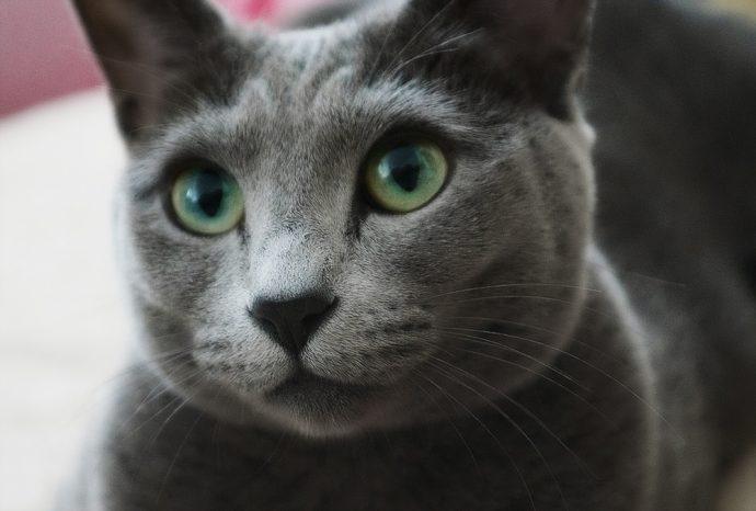 Какие породы кошек самые ЛАСКОВЫЕ? Они станут лучшими друзьями и... мурррчащей подушечкой! :) рис 8