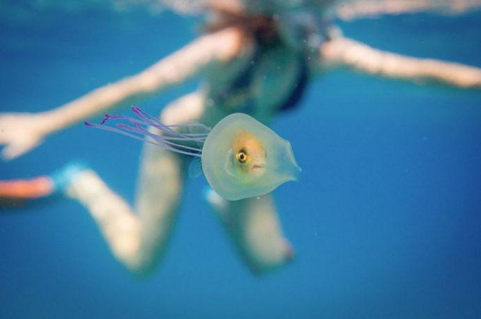 Что будет, если рыба вплывёт в медузу? Фотографии удивительной рыбы-невесты в платье со шлейфом!