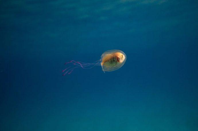 Что будет, если рыба вплывёт в медузу? Фотографии удивительной рыбы-невесты в платье со шлейфом! рис 3