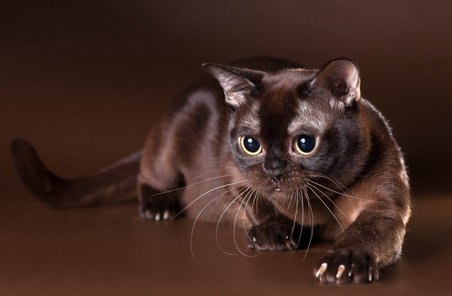 Какие породы кошек самые ЛАСКОВЫЕ? Они станут лучшими друзьями и... мурррчащей подушечкой! :) рис 7
