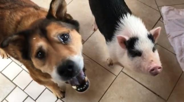 Ну же! Кто заберёт из приюта Дейва, который почти собака, но все-таки свинья? :)
