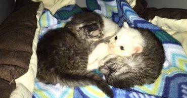 Tiny-tabby-kittens-wrapped-around-siste-keep-warm-5-600x450