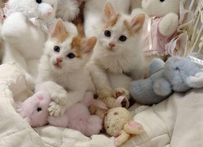 Дикие, но симпатиШные! Водоплавающие кошки турецкого озера Ван живут как хотят: дружат с лисами, купаются и рыбачат! рис 3