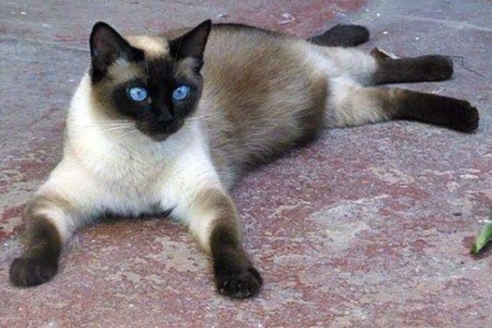 Какие породы кошек самые ЛАСКОВЫЕ? Они станут лучшими друзьями и... мурррчащей подушечкой! :) рис 6