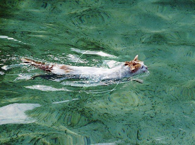 Дикие, но симпатиШные! Водоплавающие кошки турецкого озера Ван живут как хотят: дружат с лисами, купаются и рыбачат! рис 4