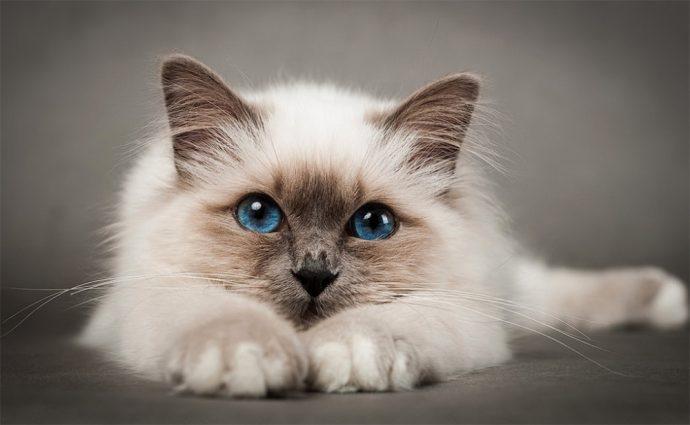 Какие породы кошек самые ЛАСКОВЫЕ? Они станут лучшими друзьями и... мурррчащей подушечкой! :) рис 4