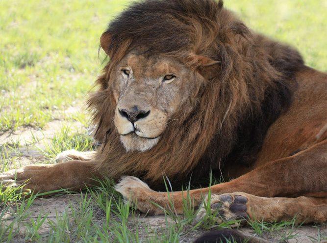 guero-lion-14-667x495