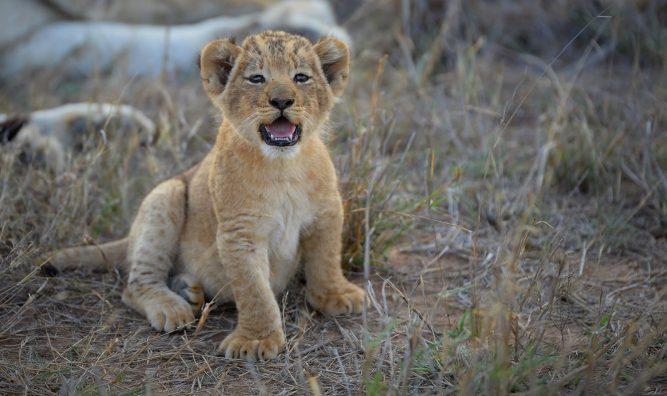lioness-cub-1-e1510066254815-667x396