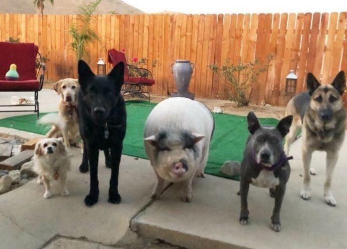 Свин - предводитель собак! Смешной шарик на четырёх копытцах живёт в собственной будке и умеет улыбаться! :) рис 2