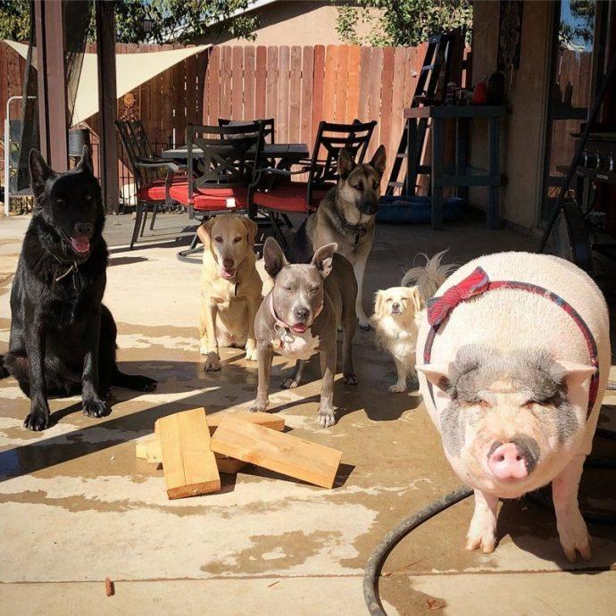 Свин - предводитель собак! Смешной шарик на четырёх копытцах живёт в собственной будке и умеет улыбаться! :) рис 10