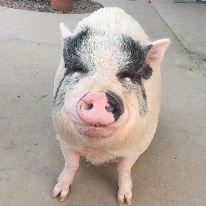 Свин - предводитель собак! Смешной шарик на четырёх копытцах живёт в собственной будке и умеет улыбаться! :)