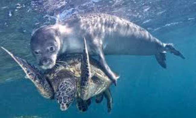 Тюлень просто проплывал мимо, когда увидел большую черепаху. И что же он начал с ней делать? В жизни не догадаетесь! :) рис 2