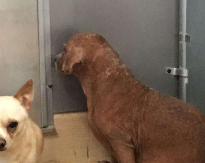 33 несчастья этого пса уже не оставляли надежды... Но врачи вновь вдохнули в него жизнь! рис 3